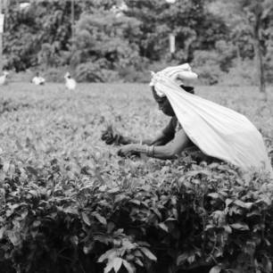 Dagapur tea garden, Siliguri, 2018: A woman plucking tea leaves.
